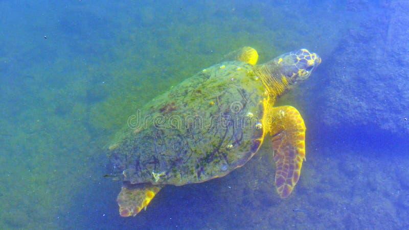 Żółw pływa pod wodą zdjęcia royalty free