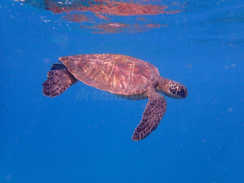 żółw pływania pod wodą zdjęcia royalty free