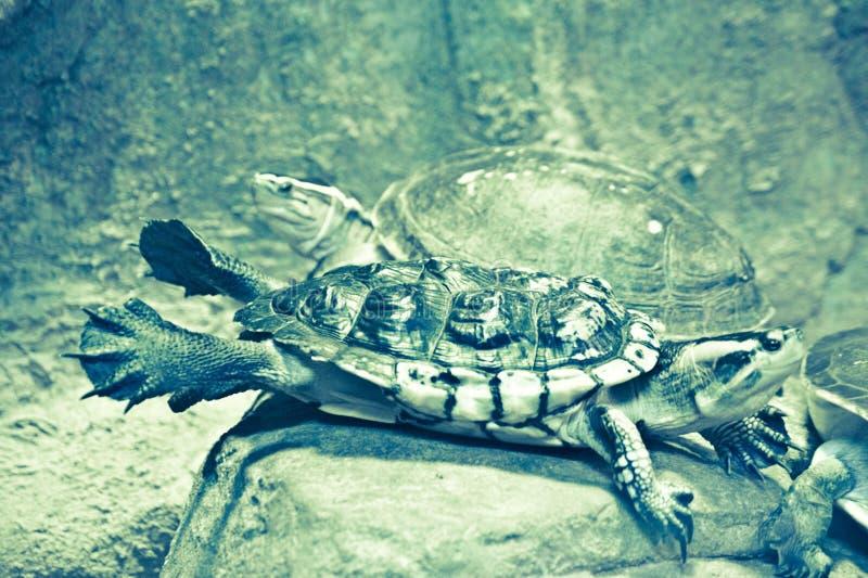 Żółw pozuje jak latanie obrazy stock