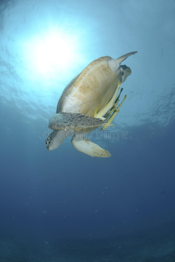 żółw zielonego morza pływacki żółw obrazy royalty free