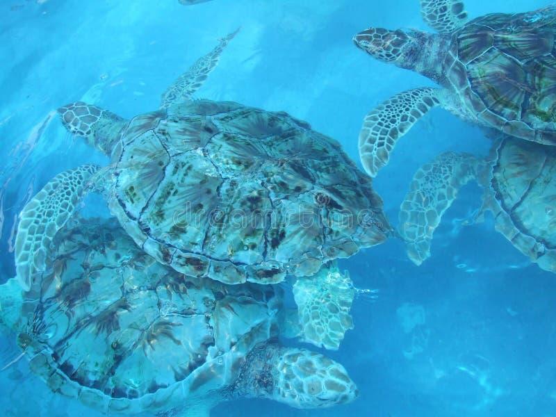 żółwi. zdjęcie royalty free