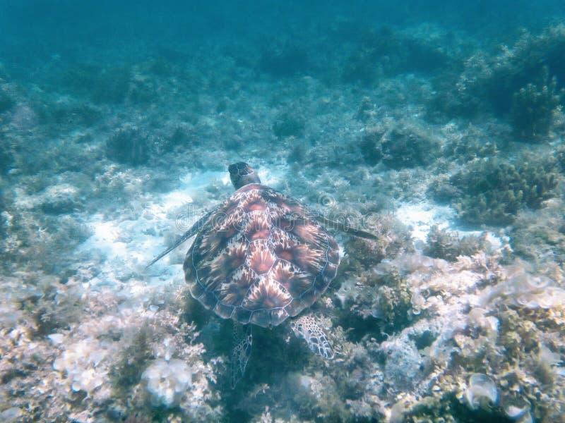 Żółwia dopłynięcie zdjęcie royalty free