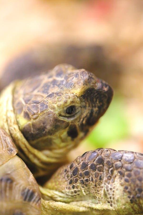Żółwia przodu głowa jako tło i noga szczegółowo zdjęcie stock