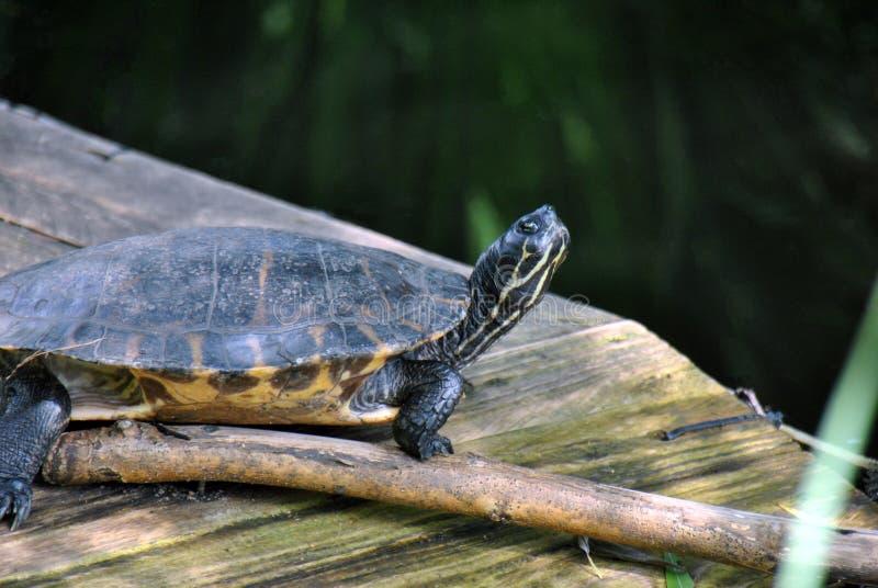 Żółwia siedzieć nieporuszony na kawałku drewno obrazy royalty free