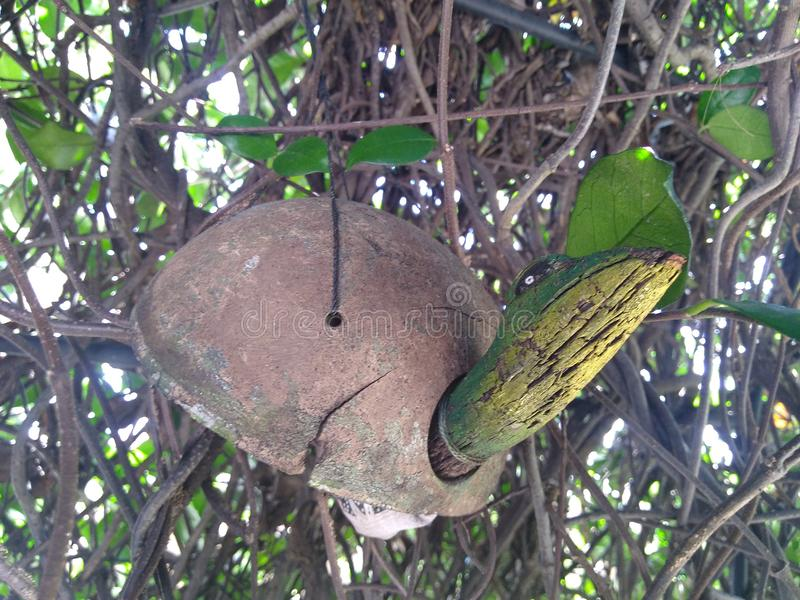 Żółwia wiatrowy chime w kołtuniastym winogradzie fotografia royalty free