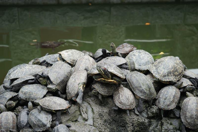 żółwie obrazy stock