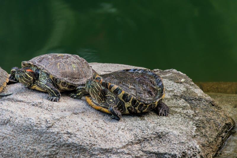 żółwie obrazy royalty free