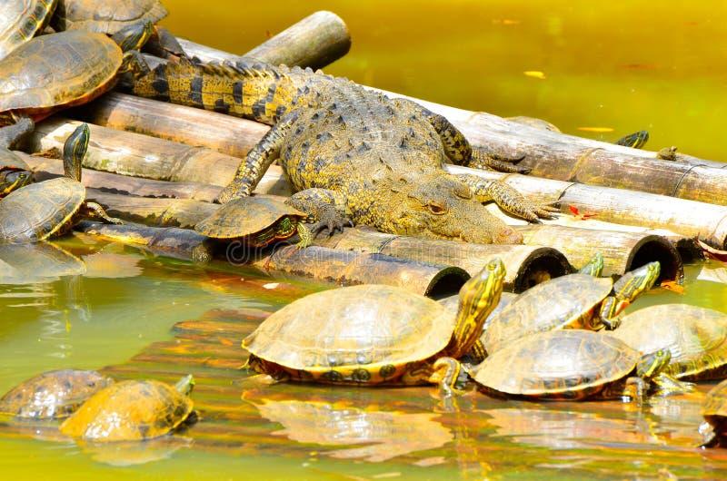 Żółwie malowane i krokodyl Belize Zoo zdjęcia stock