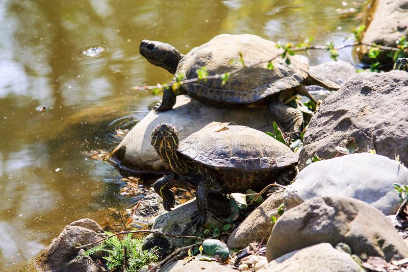 Żółwie na kamieniu na banku staw obrazy royalty free