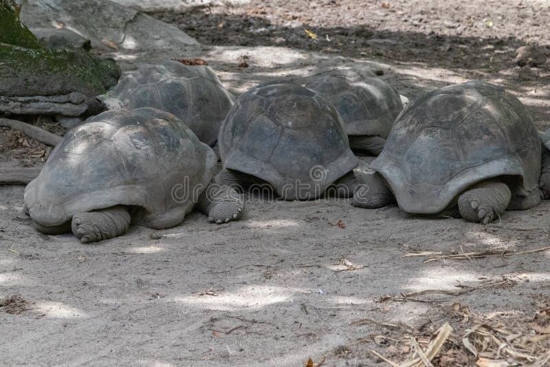 Żółwie olbrzymie na Seszelach wyspa La Digue obraz royalty free