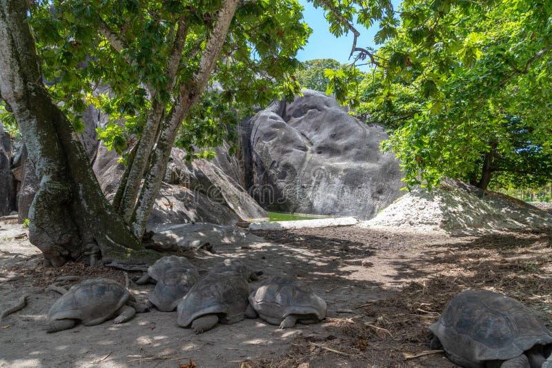 Żółwie olbrzymie na Seszelach wyspa La Digue zdjęcia royalty free