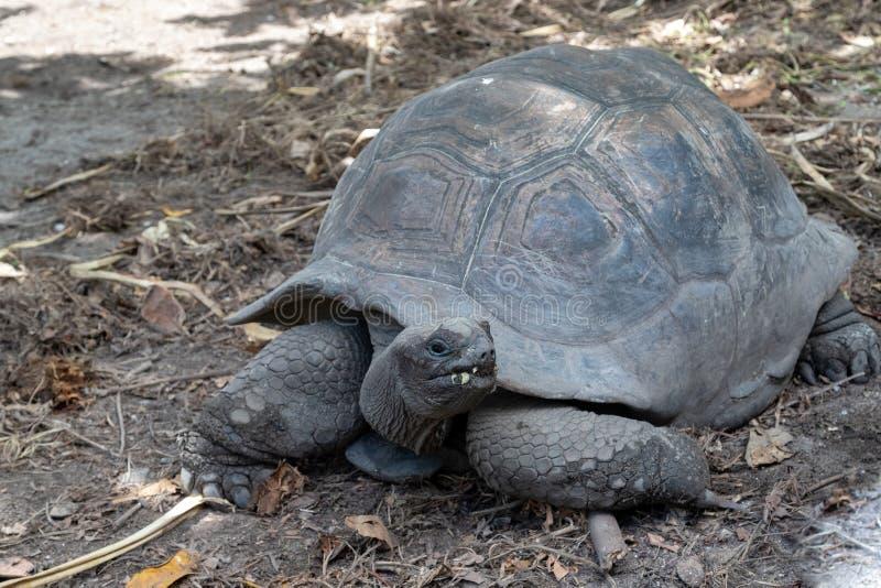 Żółwie olbrzymie na Seszelach wyspa La Digue fotografia stock