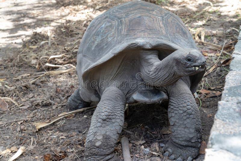 Żółwie olbrzymie na Seszelach wyspa La Digue zdjęcie royalty free