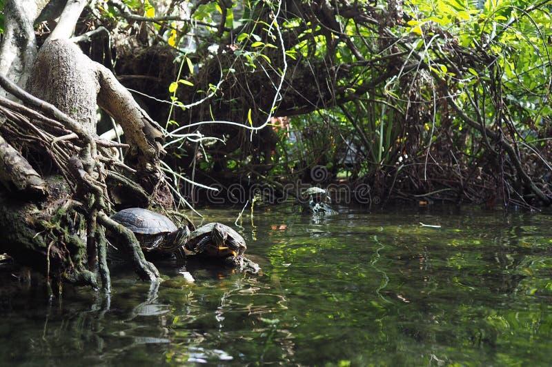 Żółwie w Granie Cenote, Jukatan obraz stock