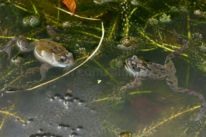 żab stawu ikra fotografia stock
