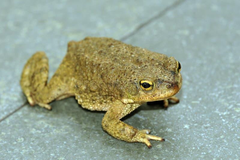 żaba obraz stock