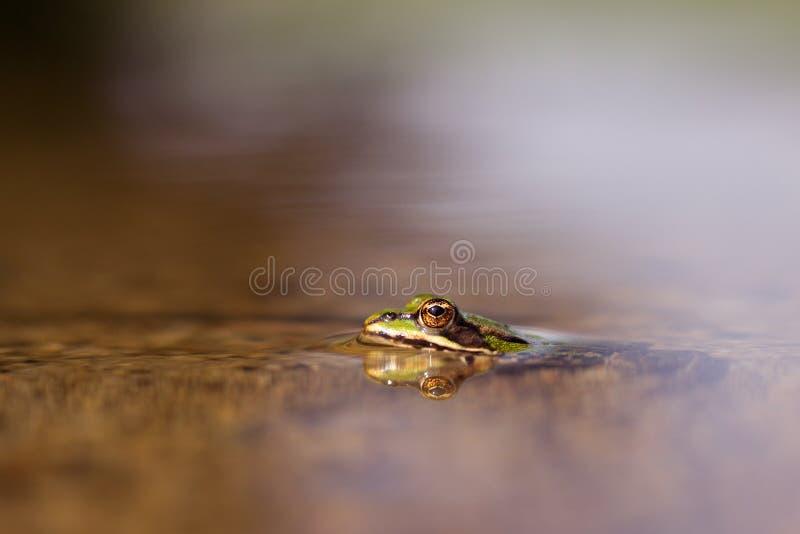 żaba zdjęcie royalty free
