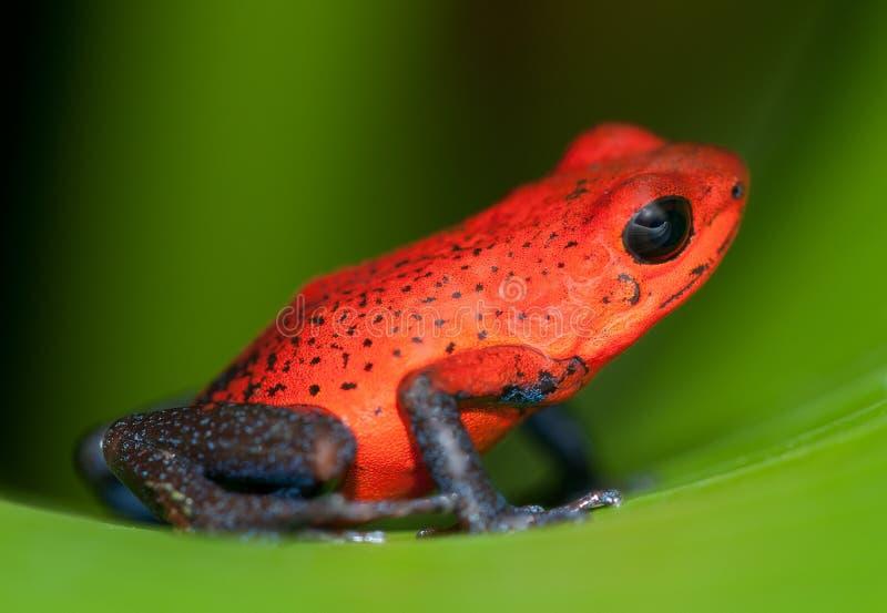 żaba błękitny cajgi zdjęcia royalty free