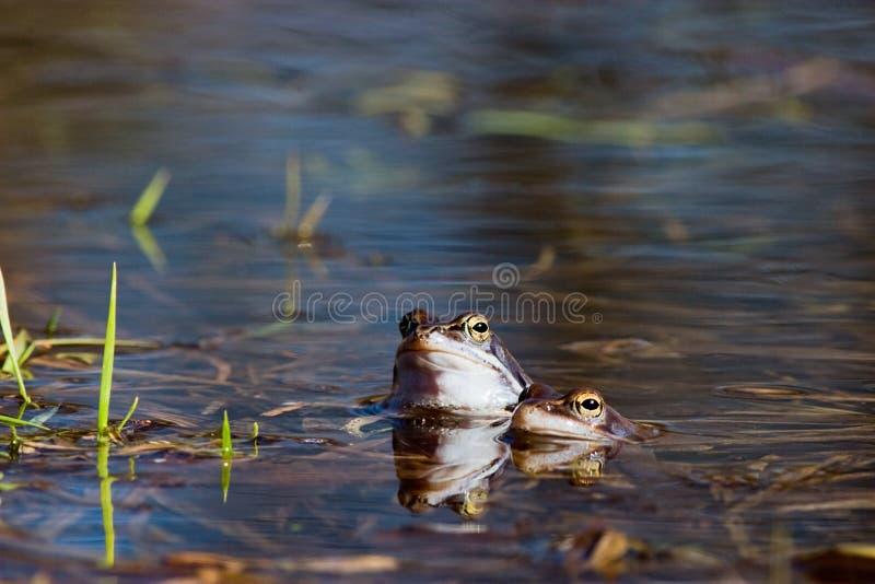 żaba cumuje fotografia royalty free