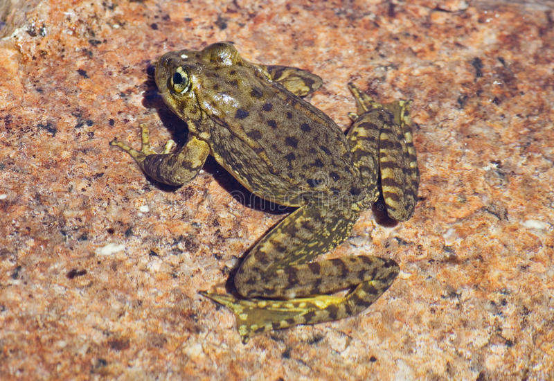 żaba iść na piechotę halny Nevada sierra kolor żółty zdjęcie stock
