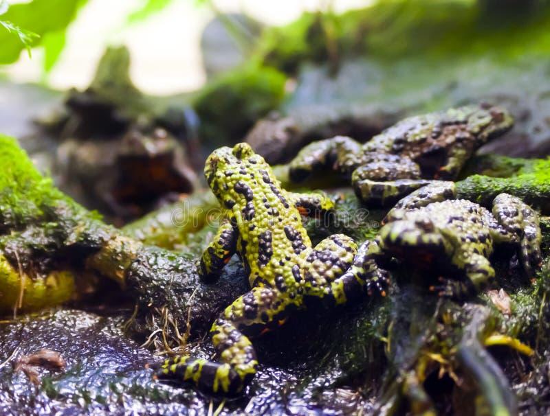 żaba jad zdjęcie stock