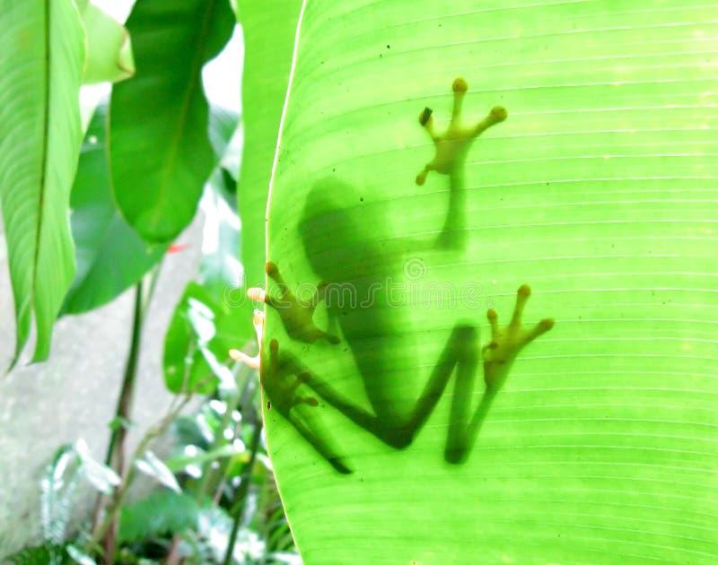 żaba jarmarczny liści, zdjęcie royalty free