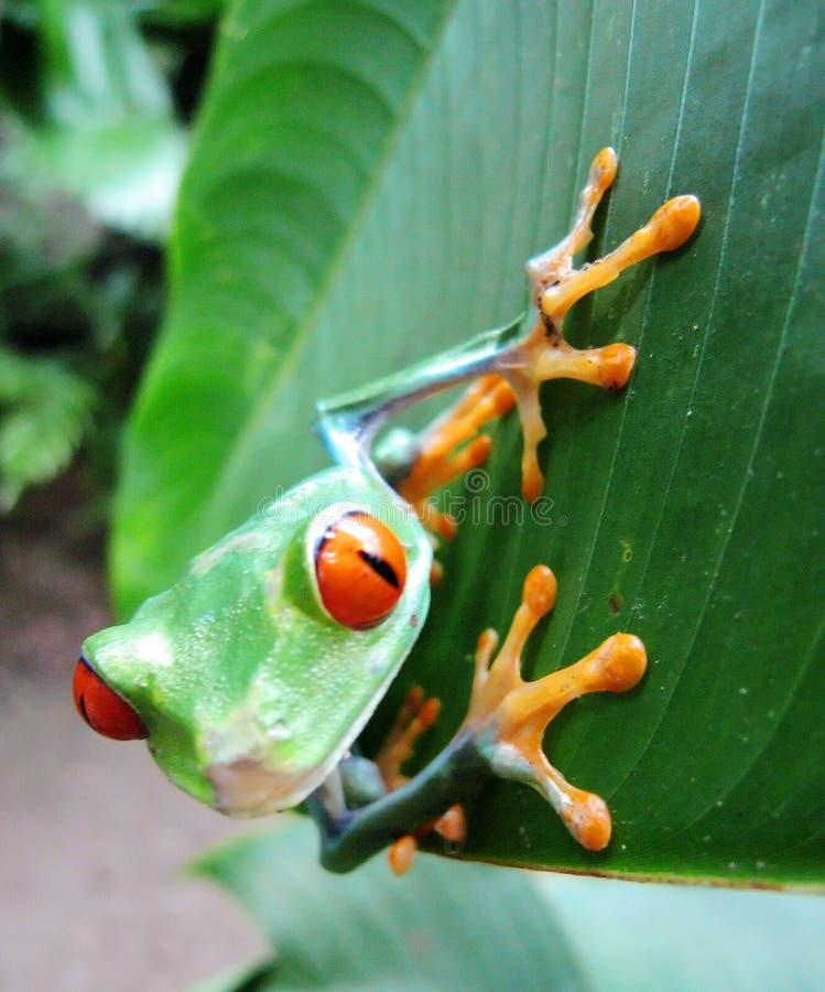 żaba jarmarczny liści, fotografia stock