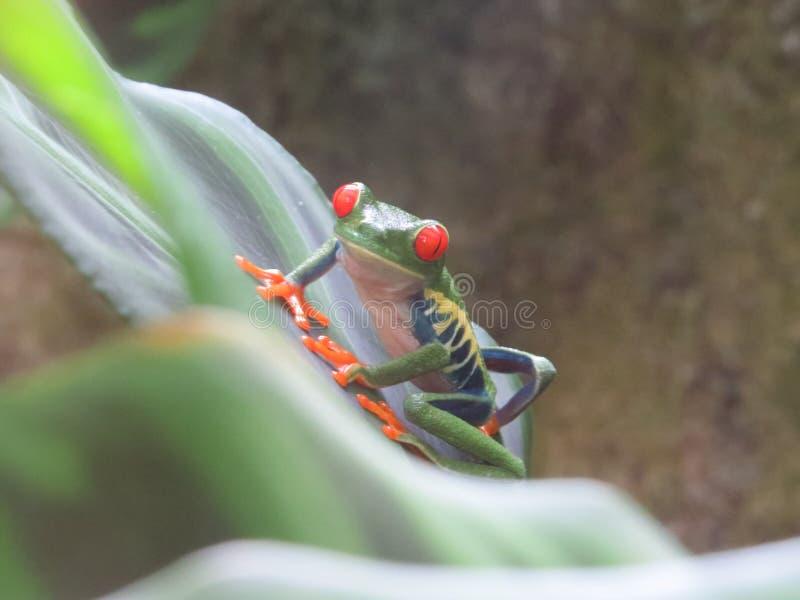 żaba jarmarczny liści, obrazy royalty free