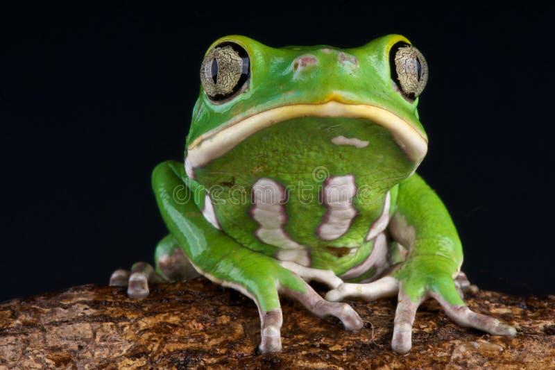 żaba liść fotografia royalty free