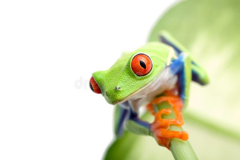 żaba liści, zdjęcia royalty free
