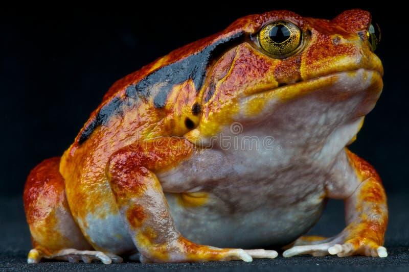 żaba pomidor zdjęcie stock