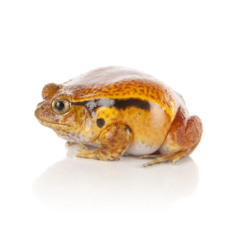 żaba pomidor zdjęcia stock