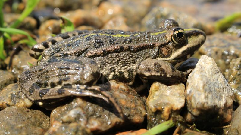 Żaba przygotowywa skakać zdjęcia stock