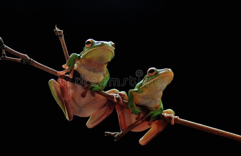 żaba Przysadkowaty, zwierzęta, scena, Naturalna, amfibie, gady fotografia stock