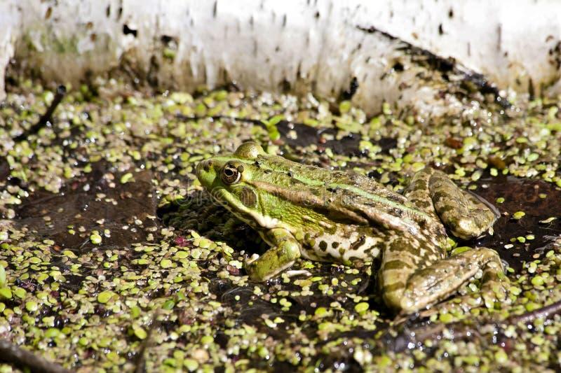 Żaba siedzi i wygrzewa się w słońcu obrazy stock