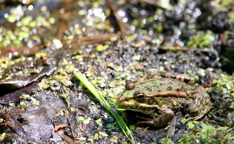 Żaba siedzi i wygrzewa się w słońcu fotografia royalty free