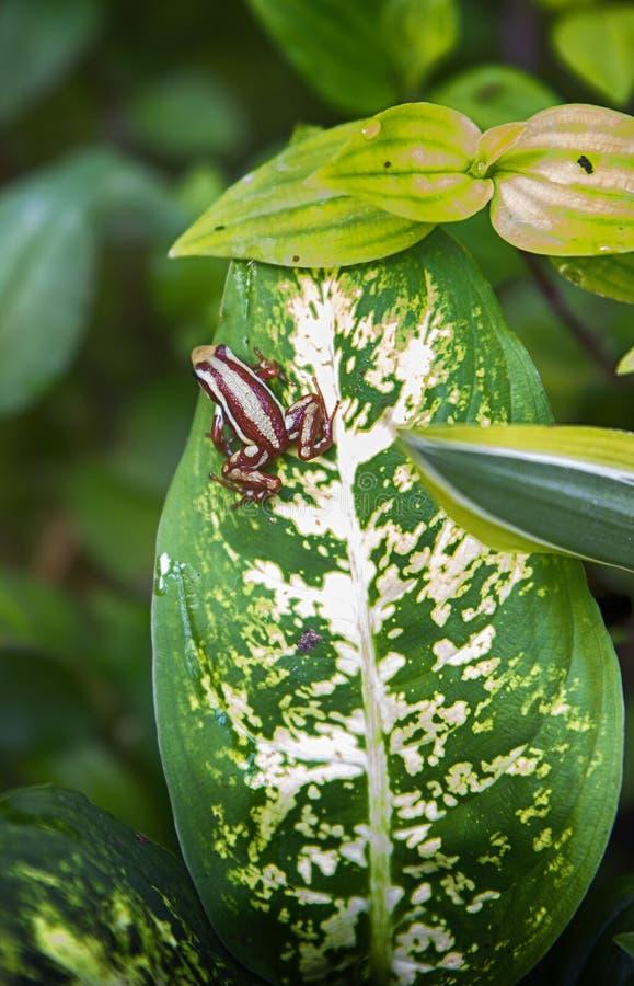 żaba tropikalna zdjęcie royalty free