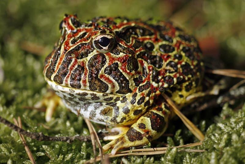 żaba uzbrajać w rogi obraz stock