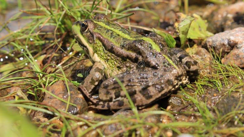 Żaba wygrzewa się w słońcu zdjęcie stock
