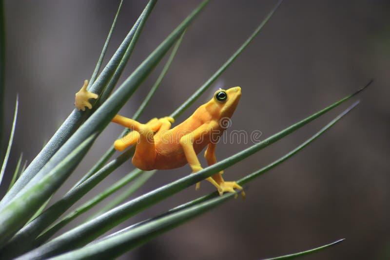 żaba złota zdjęcia stock