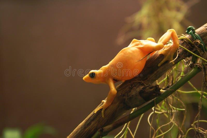 żaba złota zdjęcie royalty free