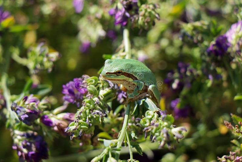 Żaba zielona obrazy stock