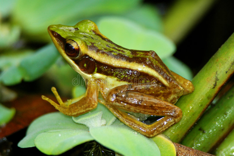 żaba zielone liści obrazy royalty free