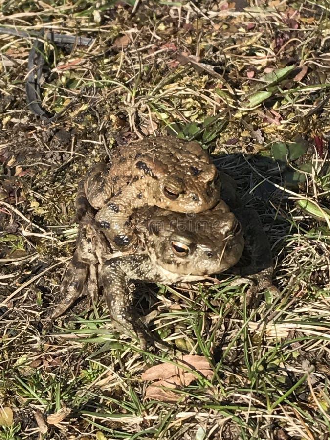 2 żaby zdjęcia royalty free