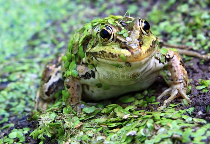 żaby bagno zdjęcia royalty free
