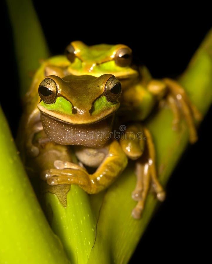 żaby drzewne obraz stock