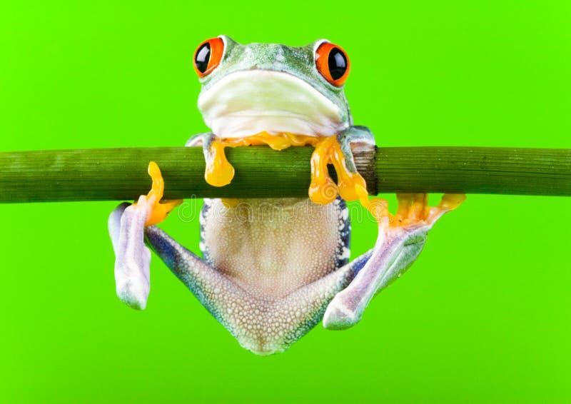 żaby drzewo fotografia stock