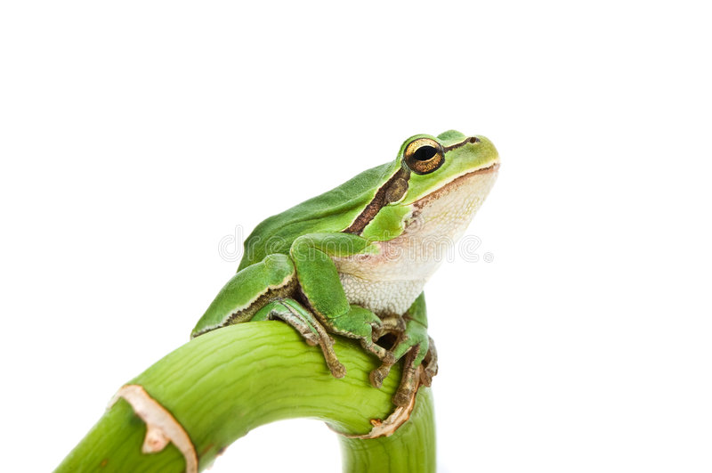 żaby drzewo obraz royalty free