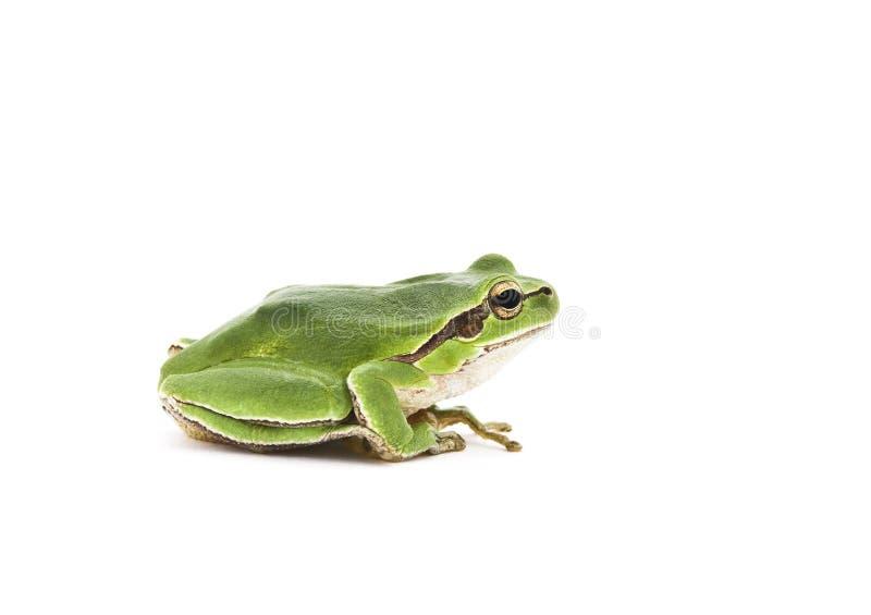 żaby drzewo obraz stock