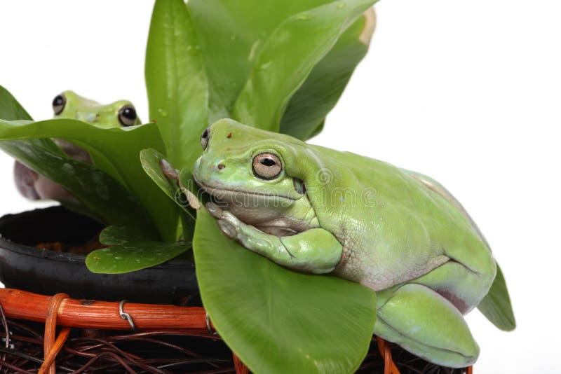 żaby dwa obraz royalty free